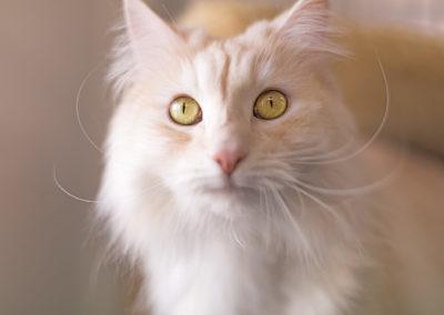 Sibirian-Katze-